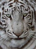 Tiger Face blanco Imagen de archivo
