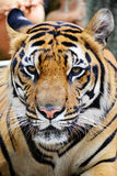 Tiger face. Stock Photography