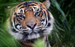 Tiger Face, Close-Up, Eye-to Eye. An Indian tiger gazes with a serious look Stock Photo