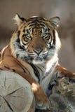 Tiger Face Stock Photos