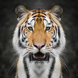 Tiger face close up Stock Photography