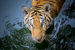 Tiger face Royalty Free Stock Photo