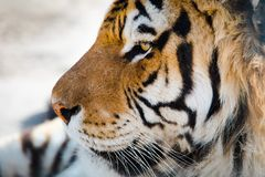 Tiger face in detail from left side. Eyes and strings visible stock photography