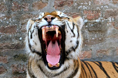 Tiger. The face of a tiger on a grunge brick wall background Stock Photo