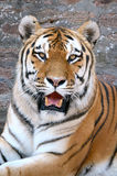 Tiger. The face of a tiger on a grunge brick wall background, vertical orientation Royalty Free Stock Image