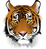 Tiger, Face, Mammal, Cat Like Mammal Royalty Free Stock Photos