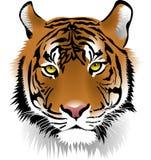 Tiger, Face, Mammal, Cat Like Mammal Royalty Free Stock Photos