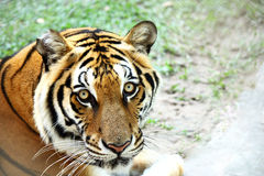 Tiger face portrait. Looking Royalty Free Stock Photo