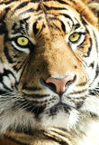 Tiger Face - striking eyes Stock Image