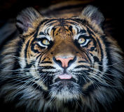 Tiger face tongue Stock Photography