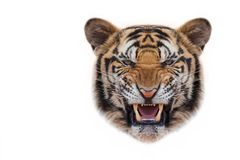 Tiger face on white background. stock photo