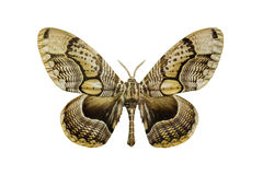 Tiger faced brahm moth Stock Photo