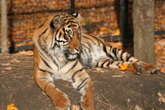 Tiger in the fall. A caged tiger at a zoo in autumn Stock Photography