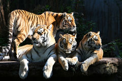 Tiger family. Tigers in a zoor, basking in the sun Stock Photos