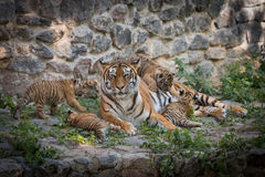 Tiger Family Royalty-vrije Stock Fotografie