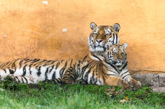Tiger Family Stock Foto