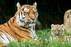 Tiger Family Stock Afbeeldingen