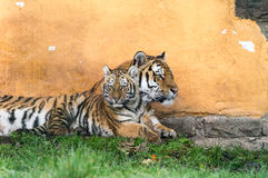 Tiger Family Stock Fotografie