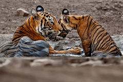Tiger family in a beautiful light in the nature habitat of Ranthambhore National Park Royalty Free Stock Photos