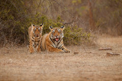 Tiger family in a beautiful light in the nature habitat of Ranthambhore National Park Royalty Free Stock Image