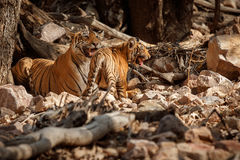 Tiger family in a beautiful light in the nature habitat of Ranthambhore National Park Stock Photo