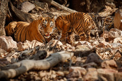 Tiger family in a beautiful light in the nature habitat of Ranthambhore National Park Royalty Free Stock Images