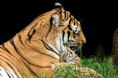 Tiger Family. Mother and Tiger Baby Stock Image