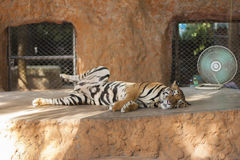 Tiger and fan Royalty Free Stock Photography