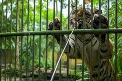 Tiger Feeding bij de Dierentuin van Bali royalty-vrije stock afbeelding