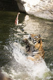 Tiger feeding Royalty Free Stock Images