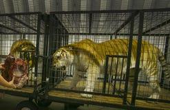 Tiger Feeding Time - Dierentuin Stock Fotografie