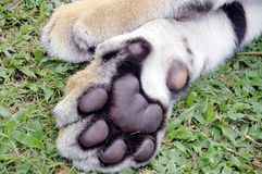 Tiger feet Stock Photo