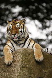 Tiger Feet. Sub-species of Tiger known as the Siberian or Amur Tiger royalty free stock photography