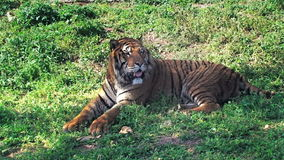 Tiger sitting. A tiger feline beast close-up, peacefully sitting on the grass stock video footage