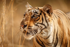 Tiger female in a beautiful light in the nature habitat of Ranthambhore National Park Stock Images