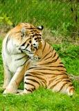 Tiger Female Stock Image