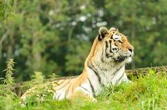 Tiger Female Royalty Free Stock Photo