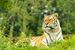 Tiger Female Royalty Free Stock Image