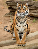 Tiger female. Female tiger at the National Zoo in Washington DC royalty free stock photography