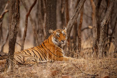 Tiger female resting in the forest during the dry season. Tiger in the nature habitat. Tiger male walking head on composition. Wildlife scene with danger animal Stock Photos