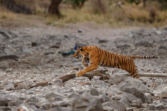 Tiger female running for her prey, sambar deer. Unsuccesful hunt. Tiger in the nature habitat. Tiger male walking head on composition. Wildlife scene with Royalty Free Stock Photography