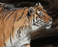 Tiger. Female Sumatran Tiger Looking Intently Right Stock Image