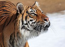 Tiger. Female Sumatran Tiger Looking Intently Right Stock Images