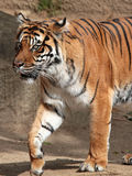 Tiger. Female Sumatran Tiger Walking Intently To The Right Stock Images