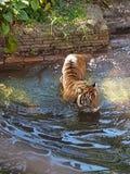 Tiger. Fierce ferocious beautiful animal stock photos