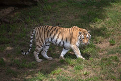 Tiger. This fierce jungle cat was stalking a small bird royalty free stock photo
