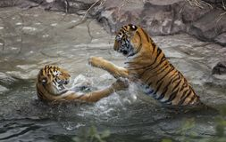 Tiger Fight (Panthera tigris altaica) - Motion Blur Stock Photo