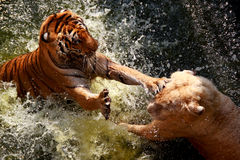 Tiger Fighter Stock Images