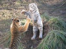Tiger Fighting Stock Photo