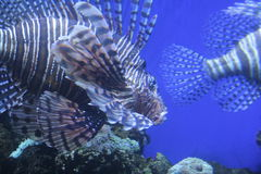 Tiger fish. A wideshot of a tiger fish royalty free stock image